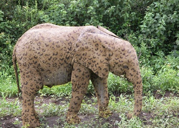 The_Rare_but_Beautiful_Spotted_Elephant