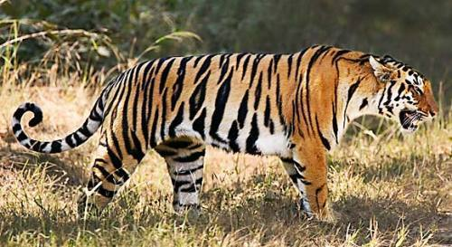 Tiger-facts-Adult-tiger