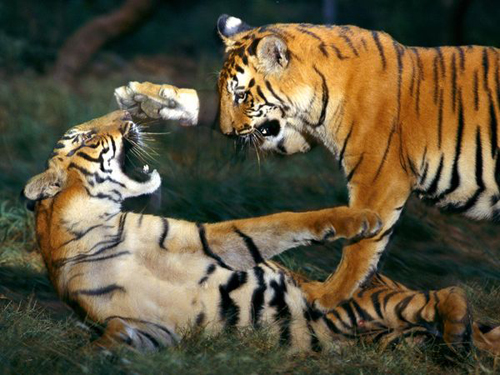 Tiger-facts-Siberian-tiger-and-its-highest-weight