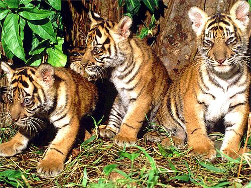 Panthera tigris sumatrae Sumatran tiger