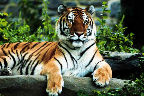 Tiger-facts-Tiger-and-its-size