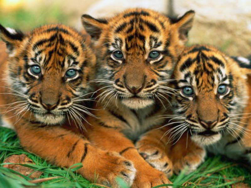 Tiger-facts-Young-tigers