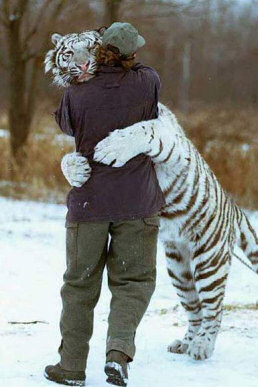 snow_tiger-rare facts