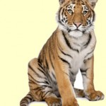 top_tiger_facts