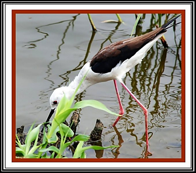Black-winged-stilt-in-jaipur-lake