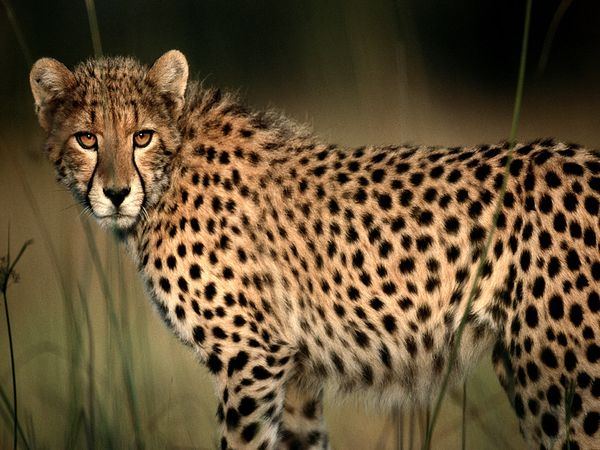 Cheetah-Facts