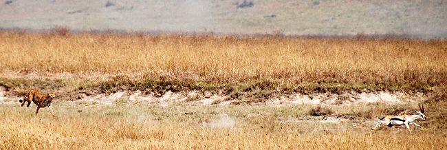 Cheetah-chasing-a-deer
