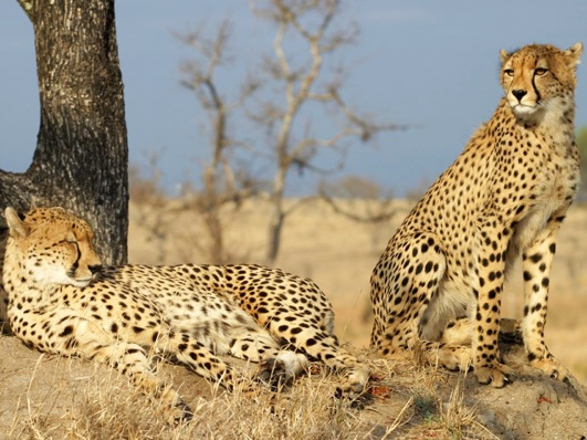 Cheetah-guards-other-while-rest
