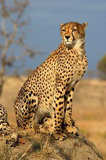 Cheetah-hunt-in-day