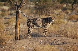 Cheetah-male-making-territory-by-urine