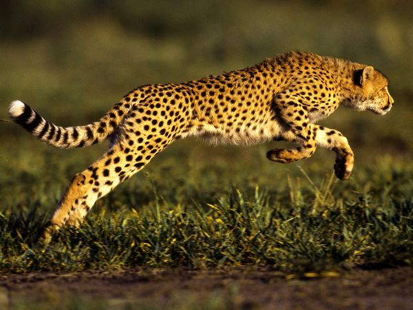 Cheetah-speed-can-beat-any-car