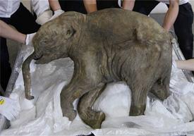 Elephant-smallest-in-world