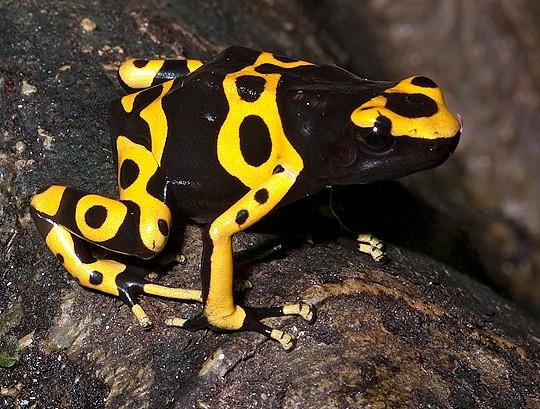golden poison dart frog 2
