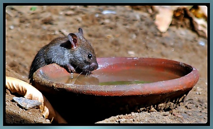 Mouse-busy-in-drinking-water