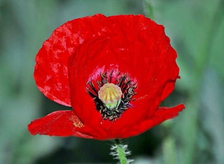 Poppy flower,at Amritsar,near border