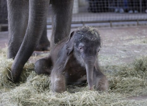 after-delivery-a-baby-elephant