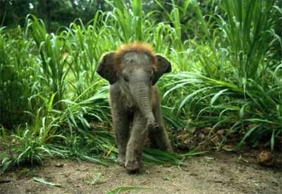 asian-baby-elephant