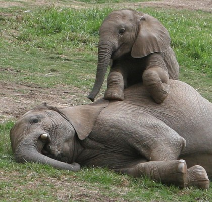 baby-elephant-wakes-up-his-mother