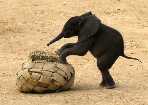 baby-elephants-want-football