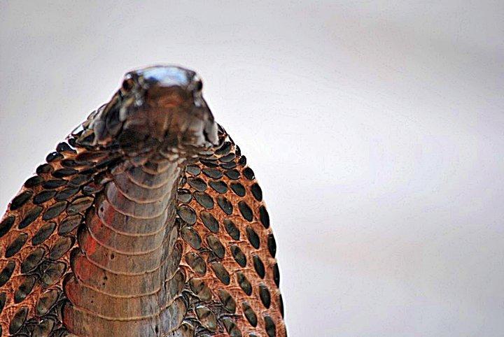 cobra-hood-picture