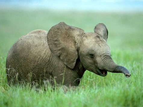 cute-baby-elephant-in-grass-feild