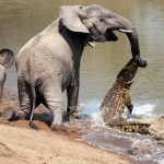 Crocodile bites Elephant's trunk