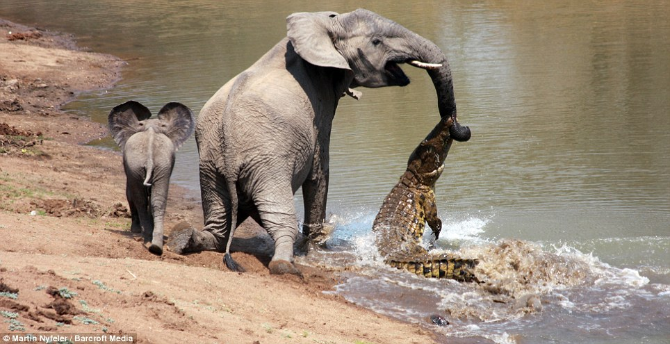 elephant-and-crocodile-fight-3
