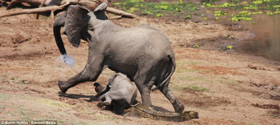 elephant-and-crocodile-fight-8