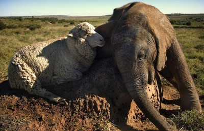 elephant-and-sheep-together