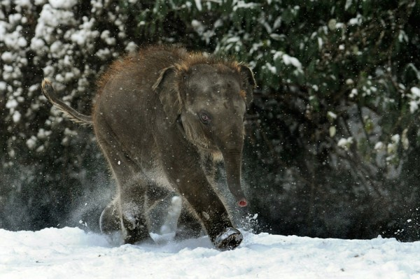 elephant-bay-roaming-in-snow