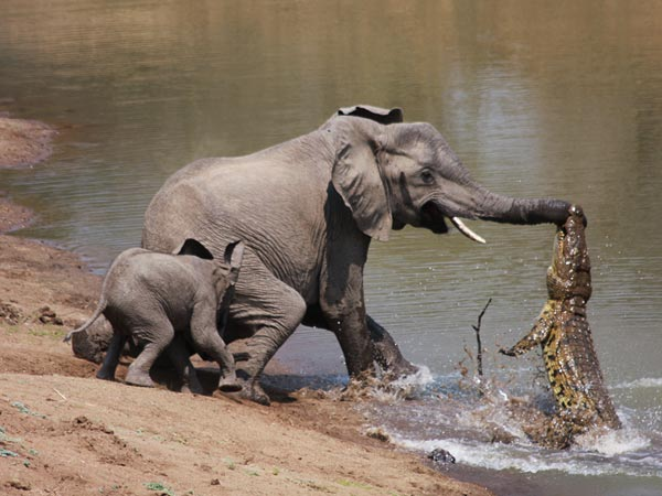 fight-between-elephant-and-crocodile