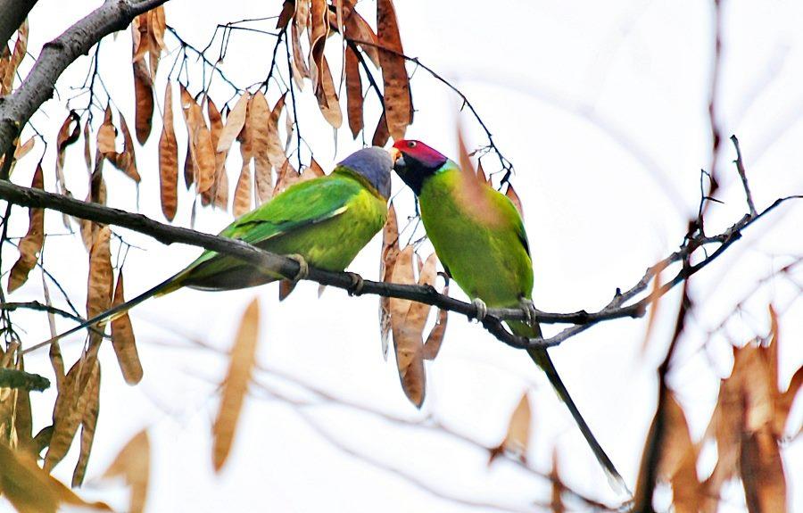 give me a kiss-parrot photos