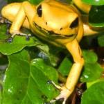 golden-poison-dart-frog