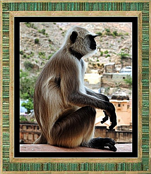 monkey-in-jaipur