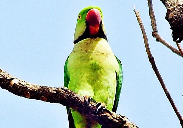 parrot in free shot at himalyan region