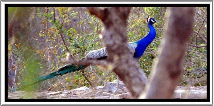 peacock-in-jaipur