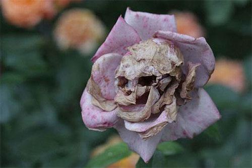 skull-in-rose