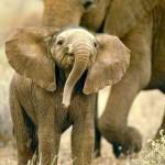 smiling-baby-elephant