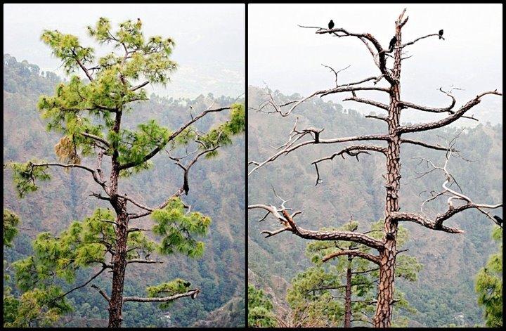 trees in himalayan region