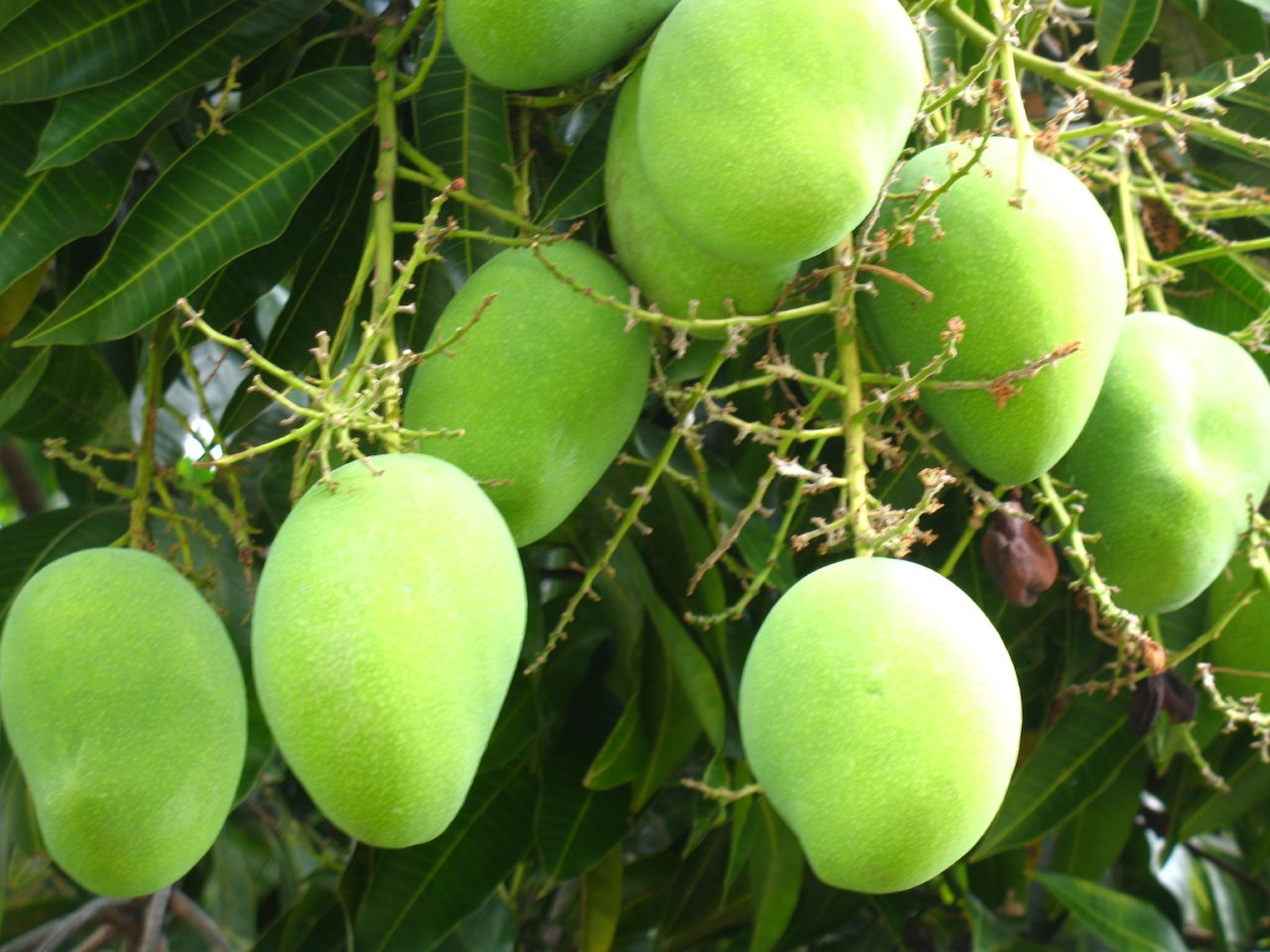 Green-mango-in-tree