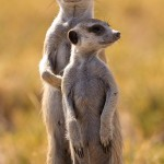 Meerkat-Few Facts