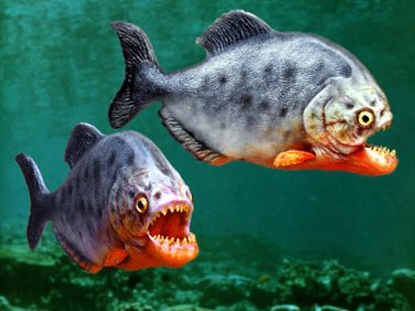piranha-search-for-food