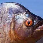 piranha-sharp-teeth