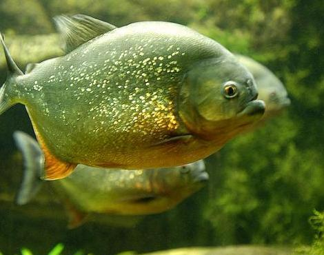 piranhas-habitat-in-amazon
