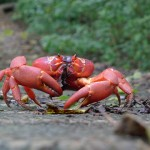 Christmas Island and Red Crab Migration