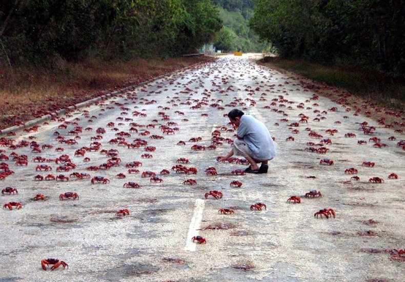 red-crab-migration-from-sea-to-forest