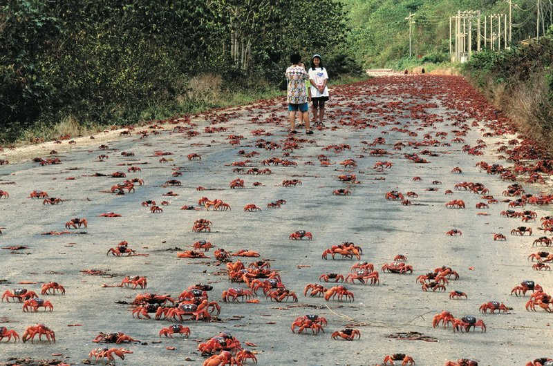 red crab migration in christmas island australia