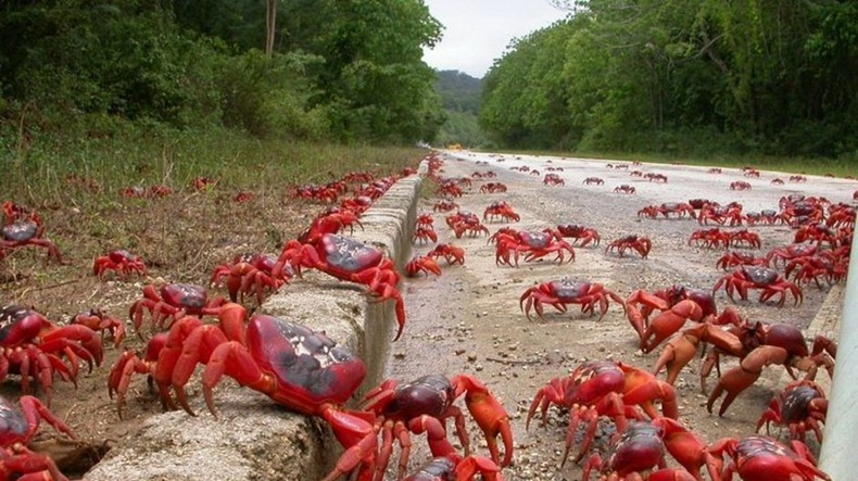 red-crab-migration-through-road