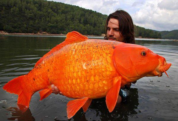 Gold-Fish-caught-In-France