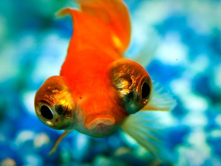 Goldfish-orange-eye